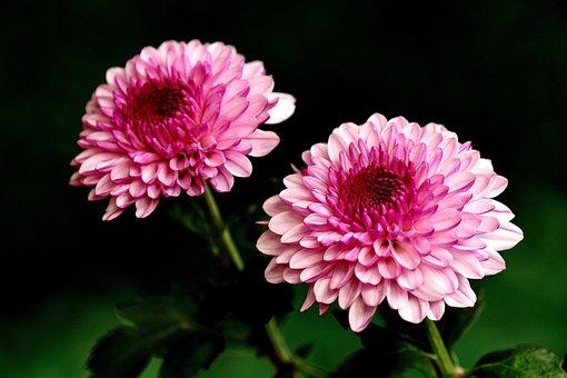 Chrysanthemums, Flowers, Pink Flowers