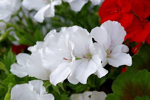 Geranium, Flowers, Plant, Pelargonium, White Flowers