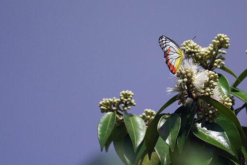 Butterfly, Painted Jezebel, Insect, Flowers, Pollen