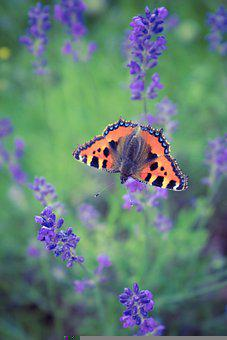 Butterfly, Flowers, Pollinate