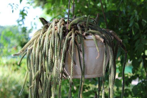 Cactus, Cacti, Plant, Pot, Botany, Nature, Growth