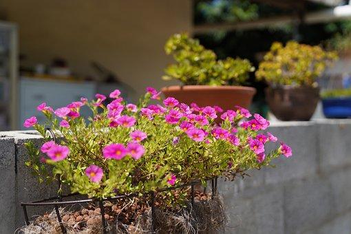 Geraniums, Flowers, Purple Flowers, Garden, Petals