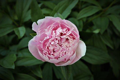 Flower, Rose, Petals, Leaves, Plant