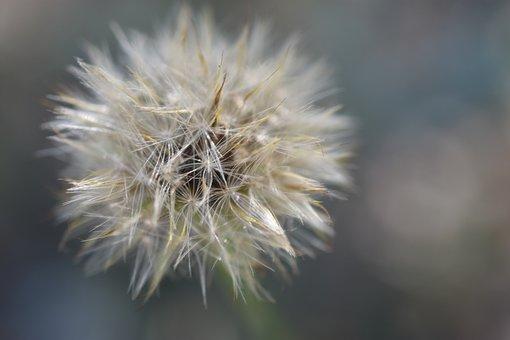 Lower, Dandelion, Wildflower, Seeds, Seed Head