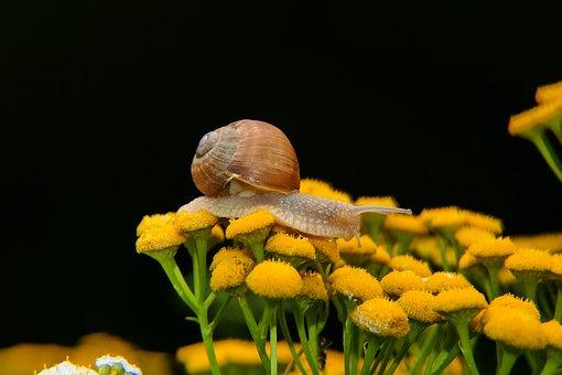 Snail, Land Snail, Flowers, Shelled Gastropod