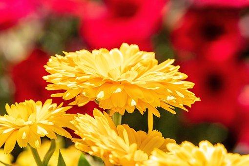 Chrysanthemums, Flowers, Yellow Flower