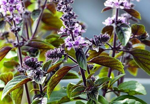 Basil, Flowers, Plants, Herbs, Purple Flowers, Petals