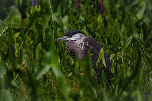 Great Blue Heron, Bird, Meadow, Heron, Wading Bird