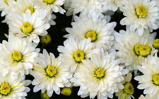 Chrysanthemums, Flowers, White, Bouquet, Flora