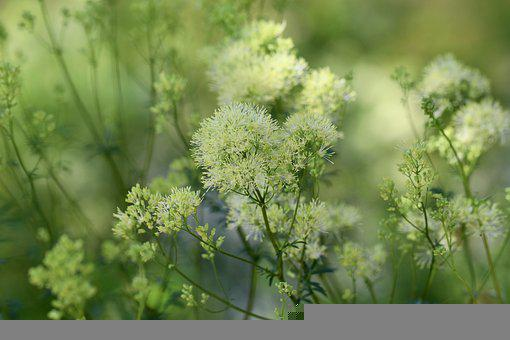 Yellow Meadow Rue, Common Meadow Rue, Wild Herbs