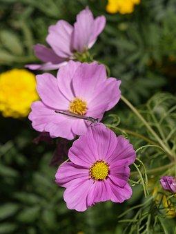 Cosmoses, Flowers, Purple Flowers, Petals