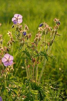 Meadow Cranesbill, Flowers, Buds, Meadow Geranium