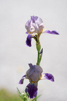 Bearded Iris, Flowers, Plant, Iris, Purple Flowers