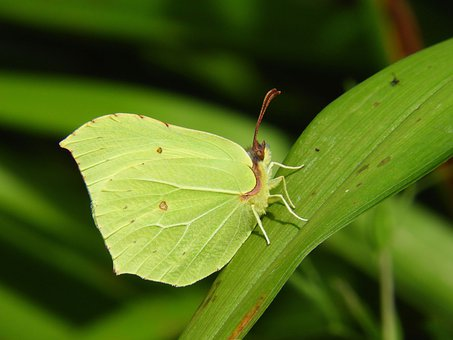 Common Brimstone Butterfly, Butterfly, Insect, Grass