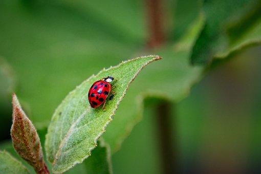 Asian Lady Beetle, Beetle, Leaf, Ladybug, Insect, Bug