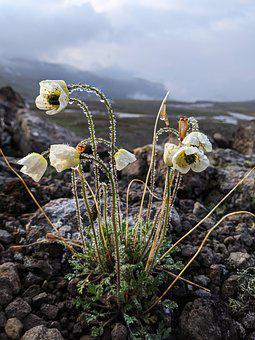 Calochortus, Bulbs, Flowers, Alpine, Nature