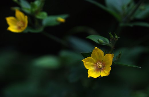 Yellow Flowers, Evening Primrose, Nature