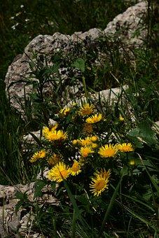 Meadow Fleabane, Flowers, Plant, British Yellowhead