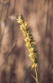 Wheat, Cereals, Plant, Crop, Spike, Grains, Rye, Barley