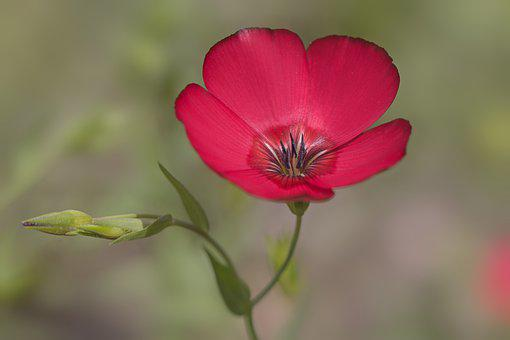 Red Flax, Flower, Plant, Scarlet Flax, Flax, Red Flower