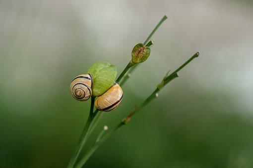 Snail, Mollusk, Spiral, Shell, Casing, Pond Snail