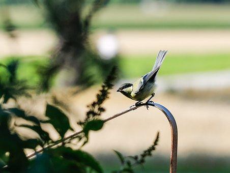 Blue Tit, Bird, Animal, Tit, Songbird, Wildlife