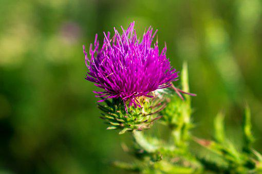 Milk Thistle, Flower, Plant, Thistle, Purple Flower