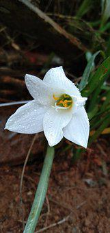 Lily, Flower, Dew, Wet, White Flower, Petals, Bloom