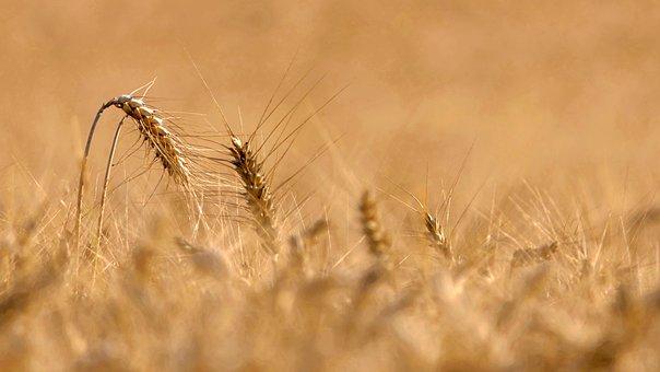 Wheat, Grass, Barley, Crop, Agriculture, Farm, Nature