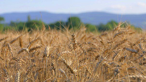 Wheat, Cereals, Field, Crop, Plants, Farm, Agriculture