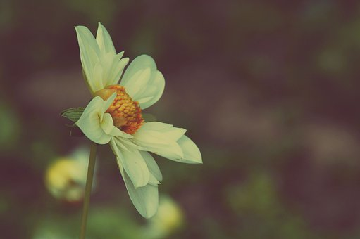 Dahlia, Flower, Plant, White Flower, Petals, Bloom