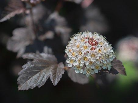 Ninebark, Flowers, Plant, Physocarpus, White Flowers
