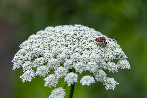 Wild Carrot, Flowers, Striped Shield Bug, Shield Bug