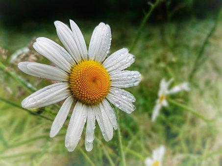 Marguerite, Flower, Daisy, Dewdrops, Dew