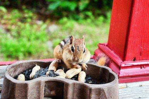 Chipmunk, Squirrel, Rodent, Peanut, Eating, Cute