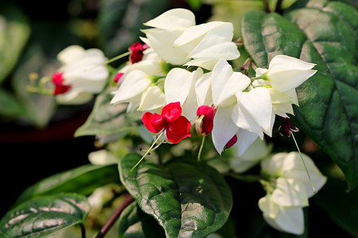 Clerodendron, Flowers, Garden, Nature