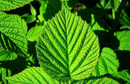 Mint, Herbs, Leaves, Foliage, Plant, Garden