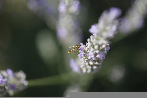Bee, Lavender, Pollination, Insect