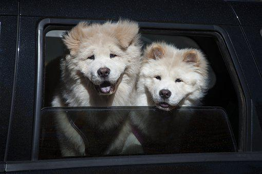 Chow Chow, Dogs, Pet, Canine, Animals, Fur, Snout