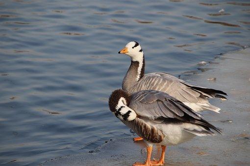 Geese, Bar-Headed Geese, Birds, Pond