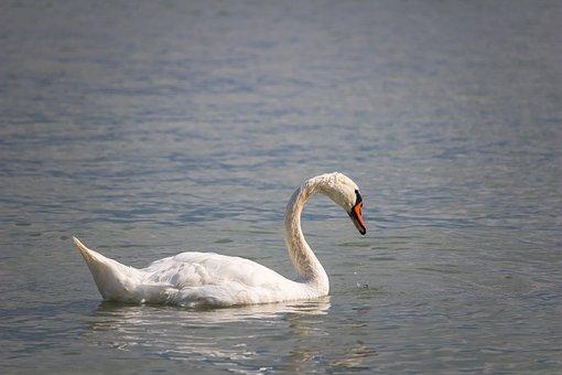 Swan, Bird, Animal, Lake, Plumage, Feathers, Beak, Bill