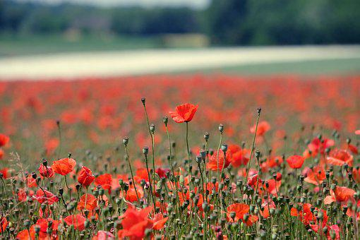 Poppies, Flowers, Field Of Poppies, Buds, Red Poppies
