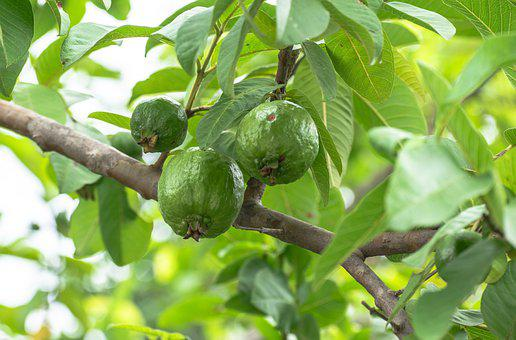 Guava, Branch, Fruits, Leaves, Tree, Plant, Tropical