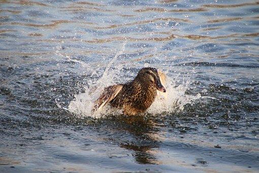 Mallard, Duck, Bird, Water Bird, Waterfowl, Animal