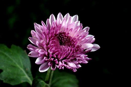 Chrysanthemum, Flower, Purple Flower