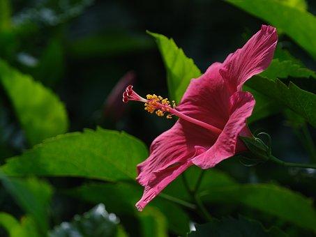 Hibiscus, Flower, Purple Hibiscus