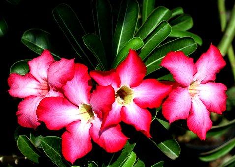 Adenium Obesums, Flowers, Adeniums