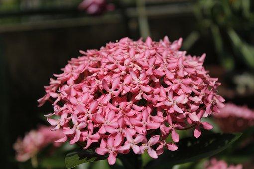 Hyfrangea, Flowers, Pink Hydrangea