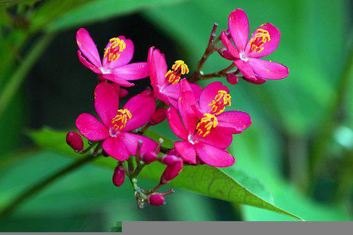 Jatrophas, Flowers, Pink Flowers, Petals