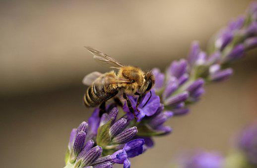 Bee, Insect, Pollinate, Pollination